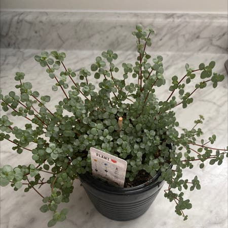 Photo of the plant species Pilea 'Aquamarine' by Rthannam named Willow on Greg, the plant care app
