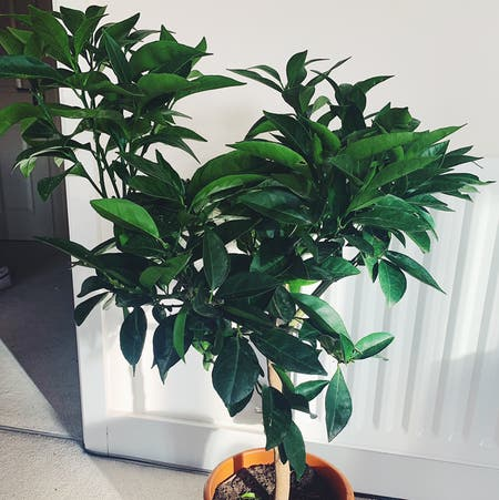 Photo of the plant species Orange Tree by Bayley.kt named OJ on Greg, the plant care app