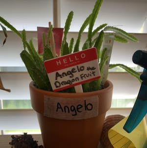 Dragon Fruit plant photo by Renée named Angelo on Greg, the plant care app.
