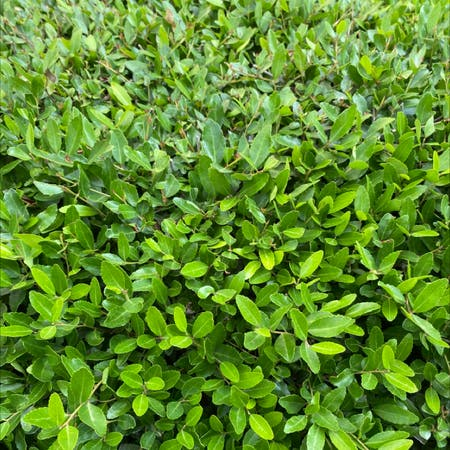 Photo of the plant species Ilex vomitoria by Sarah named Bush on Greg, the plant care app
