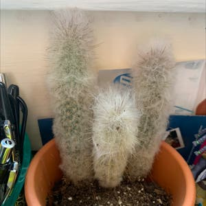 Old Man Cactus plant photo by Jumpyhylian named Freddy on Greg, the plant care app.