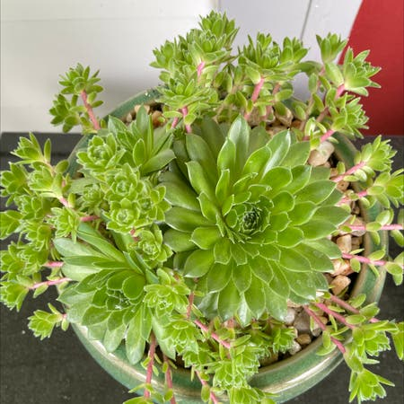 Photo of the plant species Violet Queen Hens and Chicks by Plant parent named Sherlock on Greg, the plant care app