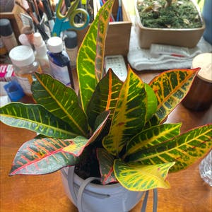 Gold Dust Croton plant photo by Cat_aholic named Coco on Greg, the plant care app.