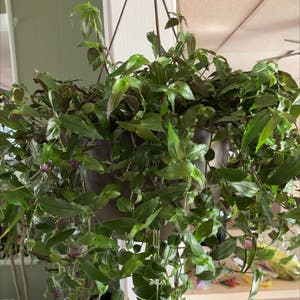 Tahitian Bridal Veil plant photo by Shari0122 named Your plant on Greg, the plant care app.