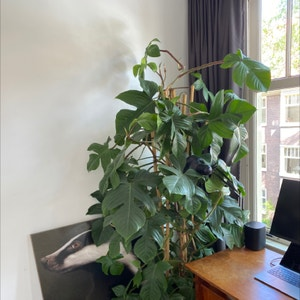 Hairy Philodendron plant photo by Robberte named Bureau Bob on Greg, the plant care app.