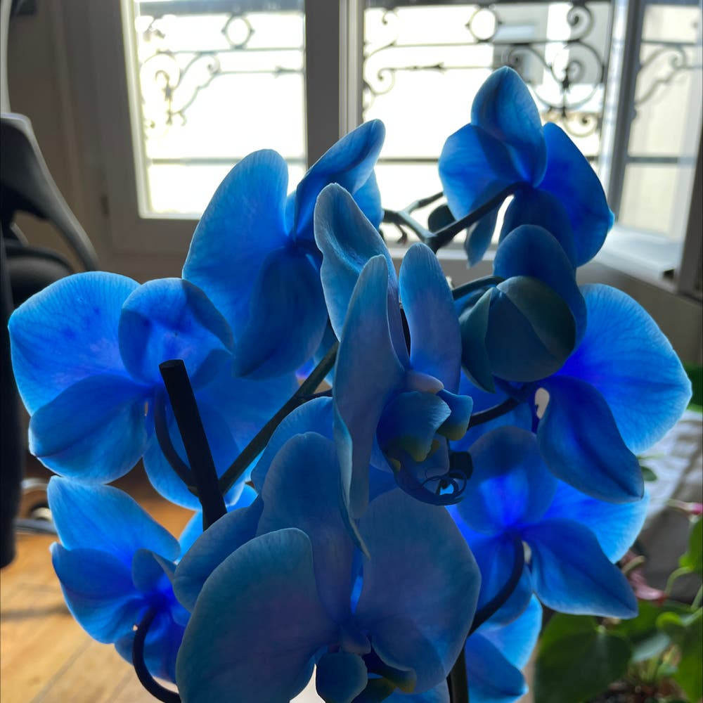Photo of the plant species Phalaenopsis orchid by Bebe named Bea on Greg, the plant care app
