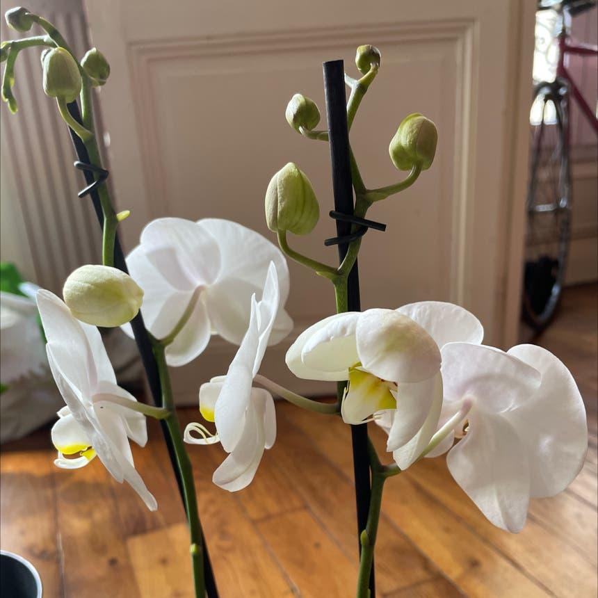 Phalaenopsis orchid plant in Saint-Denis, Île-de-France