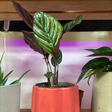 Photo of the plant species Pin-Stripe Calathea by Niamhdevlin02 named Aria on Greg, the plant care app