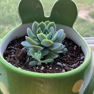 Echeveria 'Orion' plant photo by Rennoodlesoup named girlfrog on Greg, the plant care app.