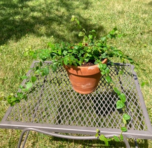 Variegated Creeping Fig plant photo by Mollylphillips named Paula on Greg, the plant care app.