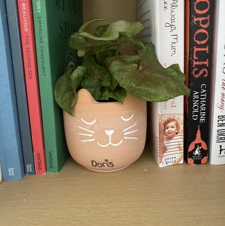 Photo of the plant species Syngonium 'Berry' by Chantelle named Doris on Greg, the plant care app