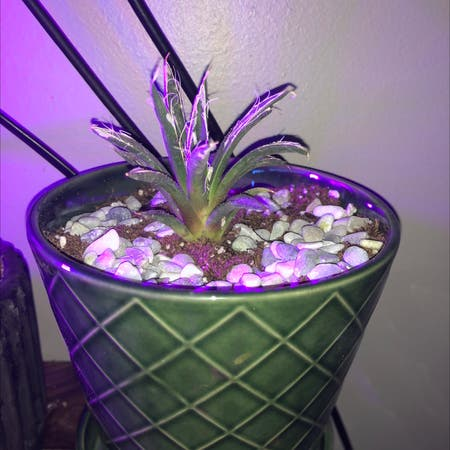Photo of the plant species Thread Agave by Cobybanet named Agave Toumeyana Bella on Greg, the plant care app