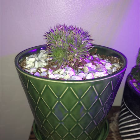 Photo of the plant species Deuterocohnia brevifolia by Cobybanet named Abromeitiella Chlorantha on Greg, the plant care app