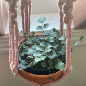 Pellaea rotundifolia plant photo by Allie named Lil Leaf on Greg, the plant care app.