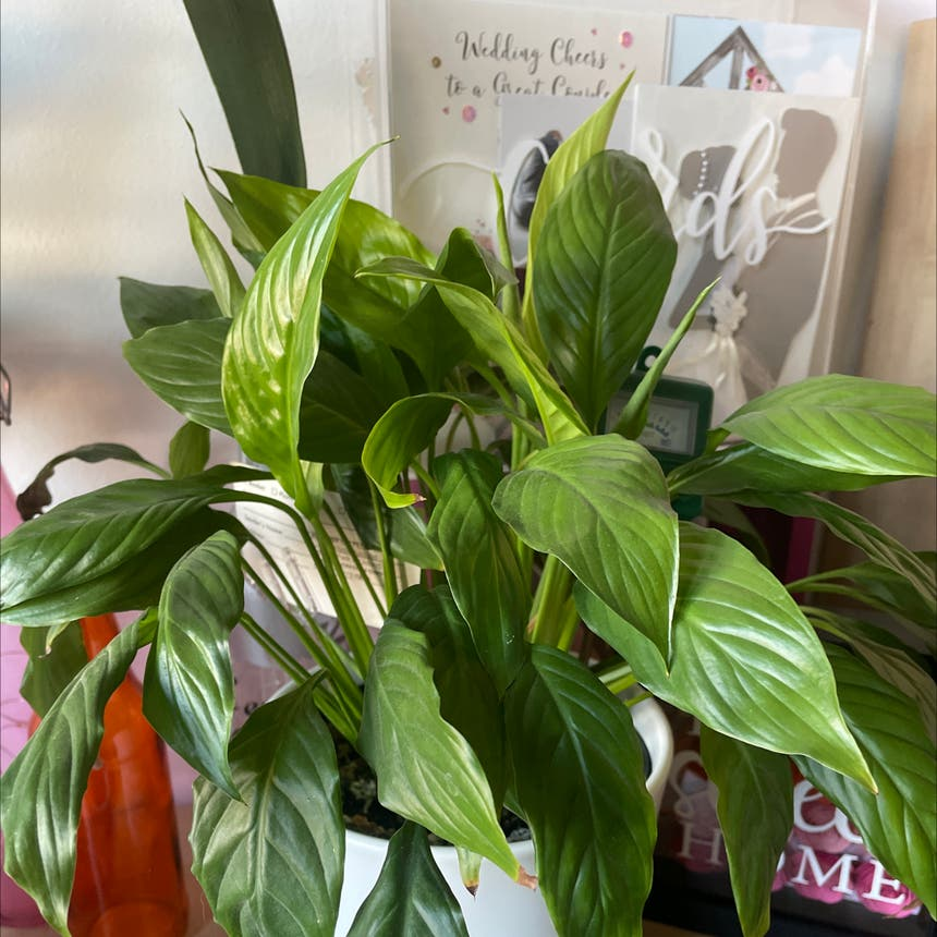 Peace Lily plant in Simcoe, Ontario