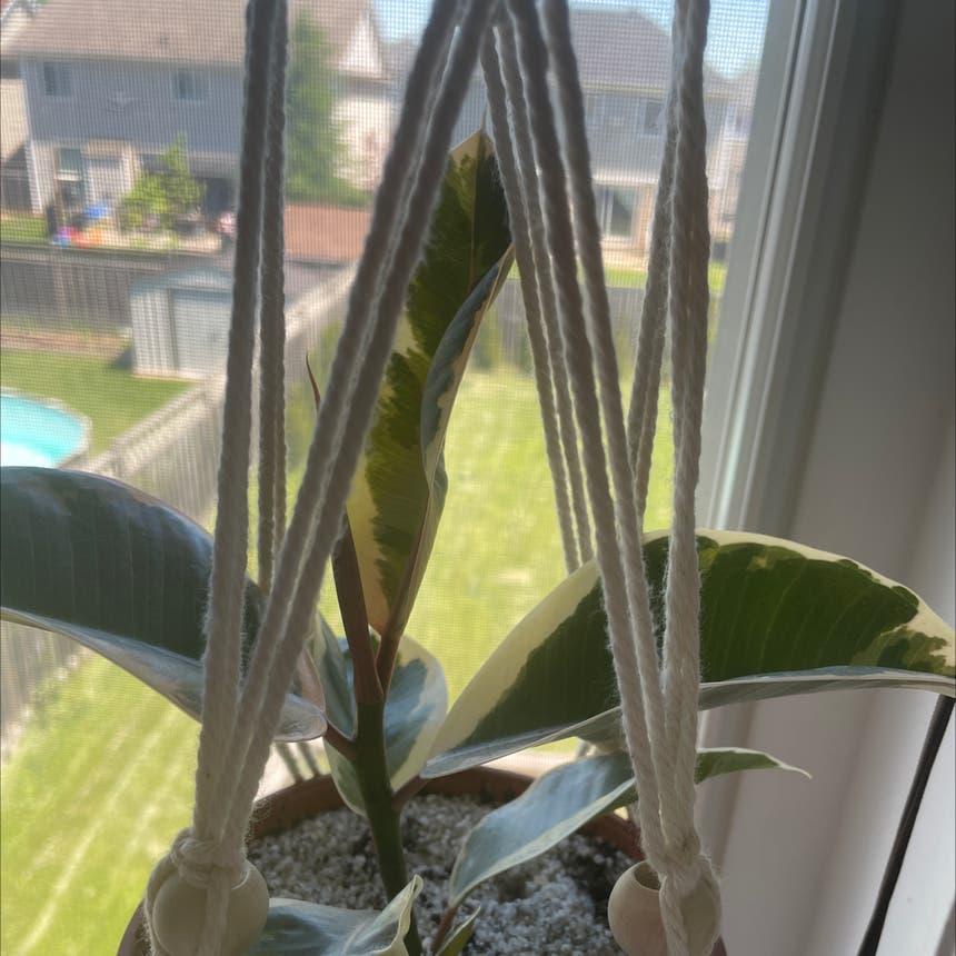 Ficus Decora plant in Simcoe, Ontario