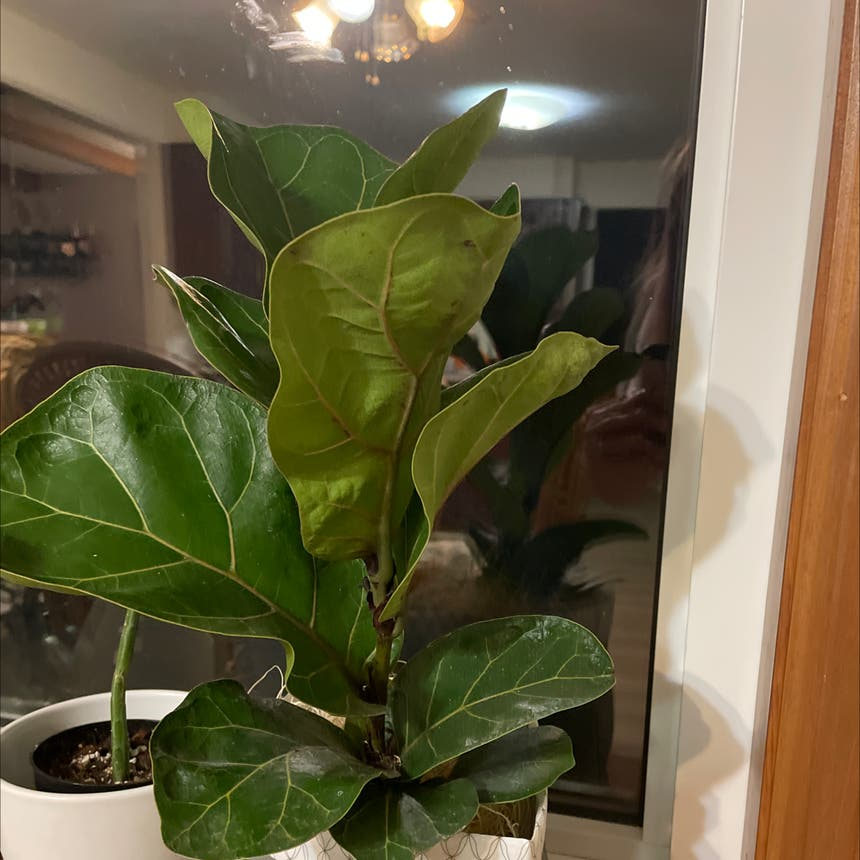 Fiddle Leaf Fig plant in Simcoe, Ontario