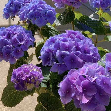 Photo of the plant species French Hydrangea by _ssycz3200 named Hydrangea on Greg, the plant care app