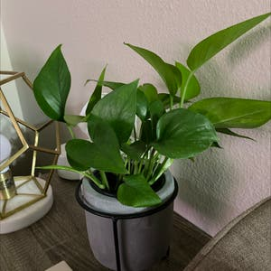 Pothos 'Jade' plant photo by Kats.hamm named Lucy on Greg, the plant care app.