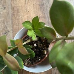 Zamioculcas zamiifolia 'Akebono' plant