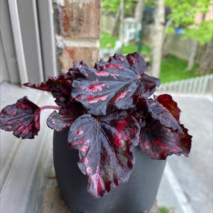 Rex Begonia plant photo by Shelbsplanta named Biggy on Greg, the plant care app.
