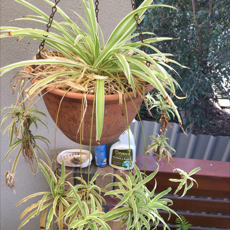 Spider Plant plant in Port Lincoln, South Australia