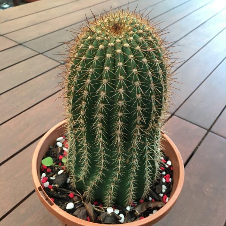 Blue Columnar Cactus plant in Port Lincoln, South Australia