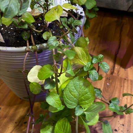 Photo of the plant species Mint 'Eau De Cologne' by Sela named Orange on Greg, the plant care app