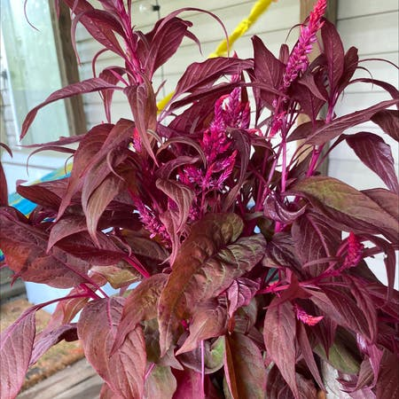 Photo of the plant species Dragon's Breath Celosia by Brittany named Sasha on Greg, the plant care app