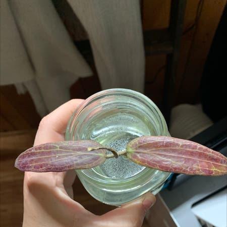 Photo of the plant species Hoya bordenii by Kaitlyn named Sasha on Greg, the plant care app