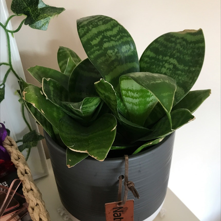 Snake Plant plant in Luton, England