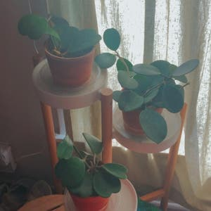 Sweetheart Hoya plant photo by Teafungus named Hoya Triplets on Greg, the plant care app.
