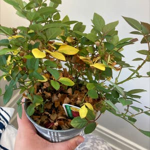 Chinese Elm plant photo by Nlischke named Judy on Greg, the plant care app.