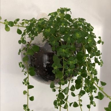 Photo of the plant species Creeping Jenny by Carobeanz named FrillyPants on Greg, the plant care app