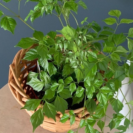 Photo of the plant species China Doll Plant by Brenna named Stranger from TJs on Greg, the plant care app