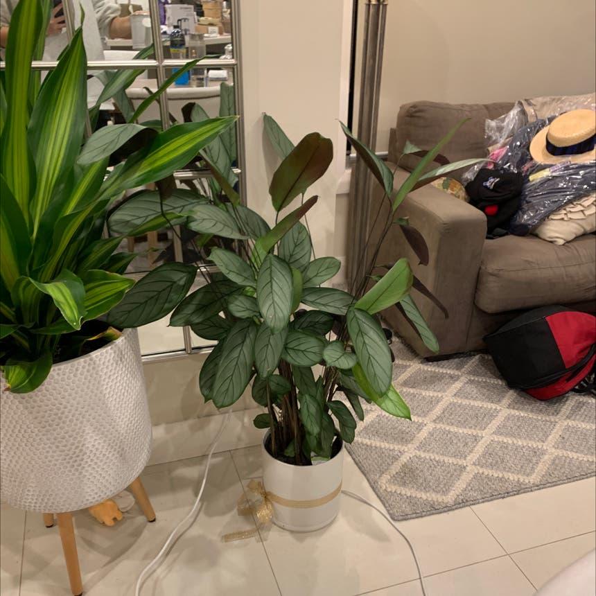 Never Never Plant 'Grey Star' plant