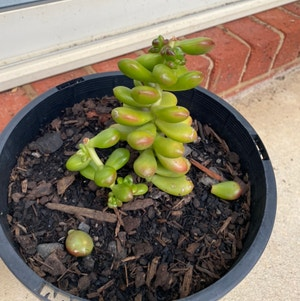 Jelly Beans plant photo by Tlord named J.R Smith on Greg, the plant care app.