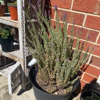 French lavender plant in West Wodonga, Victoria