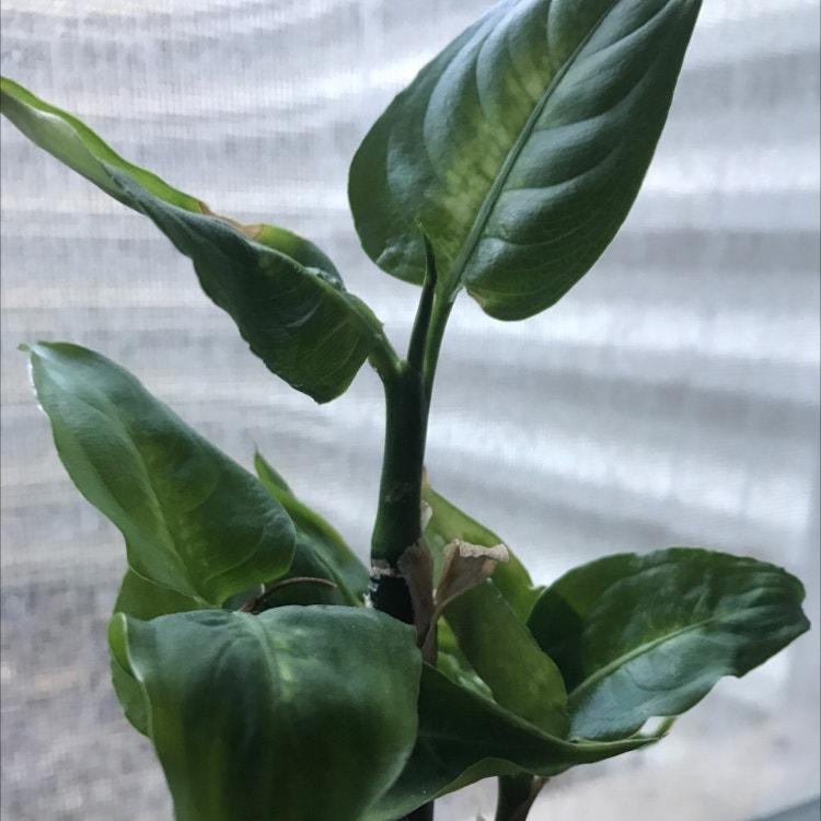 Dieffenbachia plant in Somewhere on Earth