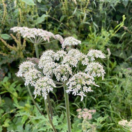 Photo of the plant species Heracleum sphondylium by Kelsey named Your plant on Greg, the plant care app
