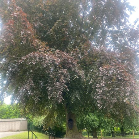 Photo of the plant species European Beech by Maddison named Curie on Greg, the plant care app