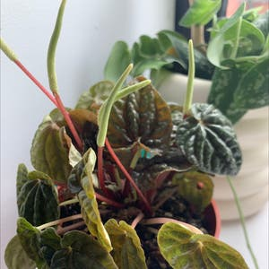 Emerald Ripple Peperomia plant photo by Ivyt named miss emerald on Greg, the plant care app.