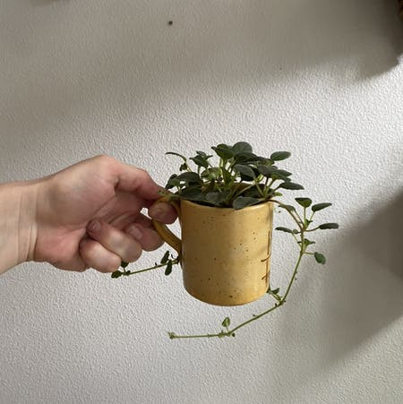 Photo of the plant species Episcia Dianthiflora by Jershwer named Alsobia dianthiflora on Greg, the plant care app