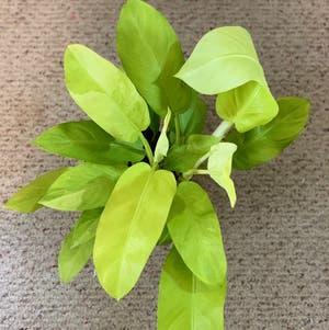 Golden Goddess Philodendron plant photo by Jenstolt85 named Gaga on Greg, the plant care app.