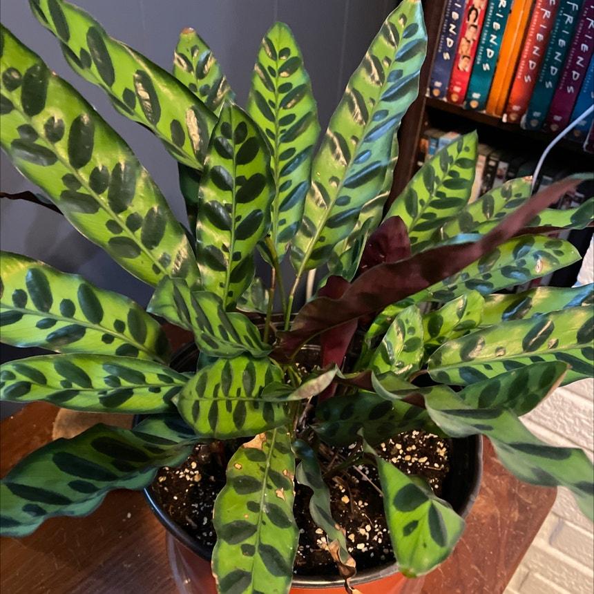 Rattlesnake Plant plant