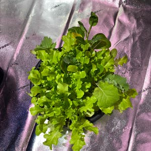 Lettuce plant photo by Maggieme23 named Salad on Greg, the plant care app.