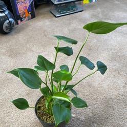 Monstera 'El salvador' plant