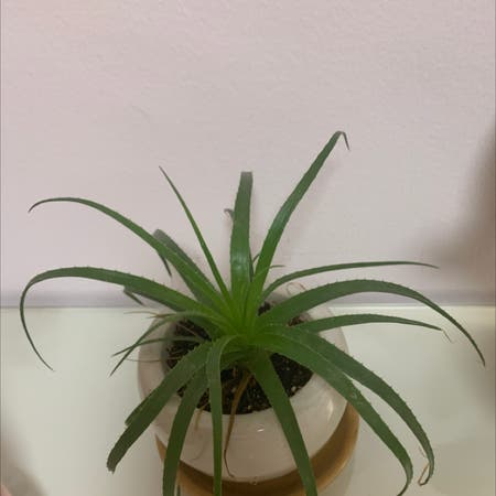 Photo of the plant species Guapilla by נטע named Sol on Greg, the plant care app