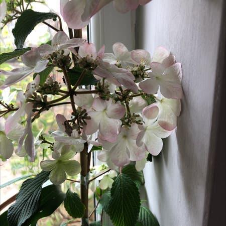 Photo of the plant species Viburnum plicatum by Susan named Viburnum on Greg, the plant care app