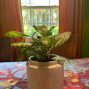Gold Dust Dracaena plant photo by Camillering3 named Simon on Greg, the plant care app.